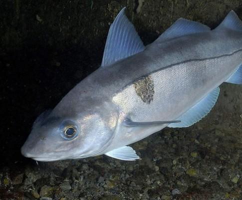Пикша – что за рыба и как готовить
