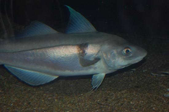Рыба пикша - польза и вред, калорийность, полезные свойства11